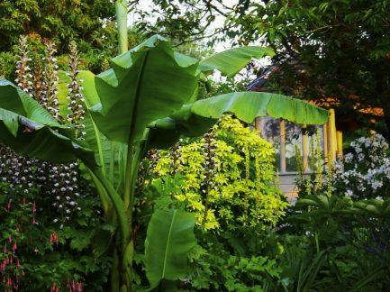 knockpatrick_banana_plant